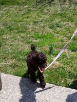 Labradoodle Puppies for sale in Baltimore, MD, USA. price: NA