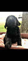 Labradoodle Puppies for sale in Marion, IL, USA. price: NA