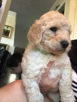 Labradoodle Puppies for sale in Houston, TX, USA. price: NA