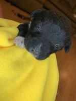 Labradoodle Puppies for sale in Bassett, VA 24055, USA. price: NA