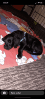 Labradoodle Puppies for sale in 6400A Ridge Rd, Eldersburg, MD 21784, USA. price: NA