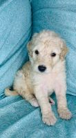 Labradoodle Puppies for sale in Main St, Horse Cave, KY 42749, USA. price: NA