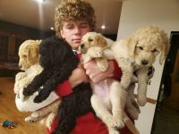 Labradoodle Puppies for sale in Hastings, MI 49058, USA. price: NA