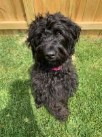 Labradoodle Puppies for sale in Prince George's County, MD, USA. price: NA