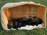 Labradoodle Puppies for sale in Sweetwater, TN 37874, USA. price: NA