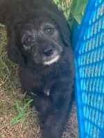 Labradoodle Puppies for sale in Hickory Grove, SC 29717, USA. price: NA