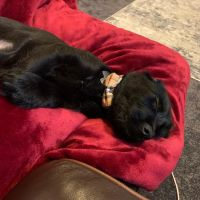 Labradoodle Puppies for sale in Baltimore, MD 21239, USA. price: NA