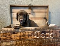 Labradoodle Puppies for sale in Highmore, SD 57345, USA. price: NA