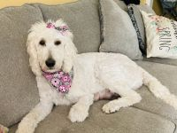 Labradoodle Puppies for sale in Cullman, AL, USA. price: NA