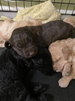 Labradoodle Puppies for sale in Clarksville, TN, USA. price: NA