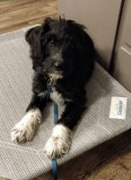 Labradoodle Puppies for sale in Boise, ID, USA. price: NA