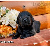 Labradoodle Puppies for sale in Canton, OH, USA. price: NA