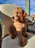 Labradoodle Puppies for sale in Cuyahoga Falls, OH, USA. price: NA