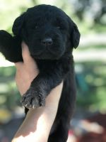Labradoodle Puppies for sale in Granite Falls, MN 56241, USA. price: NA