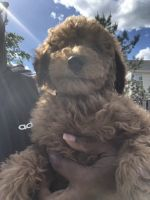 Labradoodle Puppies for sale in Accokeek, MD, USA. price: NA