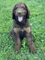 Labradoodle Puppies for sale in Versailles, KY 40383, USA. price: NA