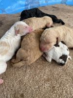 Labradoodle Puppies for sale in Florence, AL, USA. price: NA