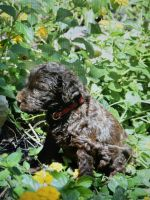 Labradoodle Puppies for sale in San Antonio, TX, USA. price: NA