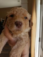 Labradoodle Puppies for sale in Cumming, GA 30041, USA. price: NA