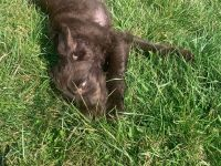 Labradoodle Puppies for sale in Cuyahoga Falls, OH 44223, USA. price: NA