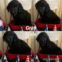 Labradoodle Puppies for sale in Diana, TX 75640, USA. price: NA
