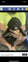 Labradoodle Puppies for sale in Newaygo, MI 49337, USA. price: NA