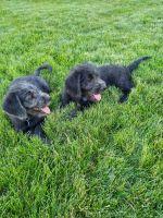 Labradoodle Puppies for sale in Yakima, WA, USA. price: NA