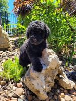 Labradoodle Puppies for sale in Leitchfield, KY 42754, USA. price: NA