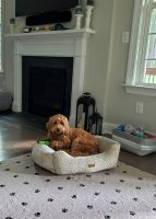 Labradoodle Puppies for sale in Raleigh, NC, USA. price: NA