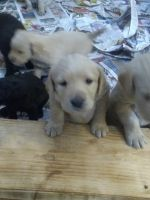 Labradoodle Puppies for sale in Moreno Valley, CA 92555, USA. price: NA