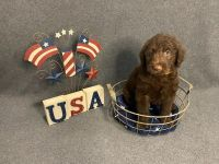 Labradoodle Puppies for sale in San Leon, TX, USA. price: NA