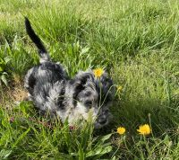 Labradoodle Puppies for sale in Bowdon, GA 30108, USA. price: NA