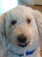 Labradoodle Puppies for sale in Henderson, NV, USA. price: NA