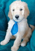 Labradoodle Puppies for sale in Fontana, CA 92334, USA. price: NA