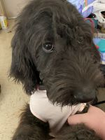 Labradoodle Puppies for sale in Painesville, OH 44077, USA. price: NA