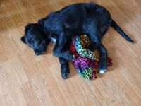Labradoodle Puppies for sale in Becker, MN, USA. price: NA