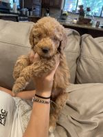 Labradoodle Puppies for sale in Weaverville, CA, USA. price: NA