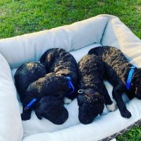 Labradoodle Puppies for sale in Chatsworth, GA 30705, USA. price: NA