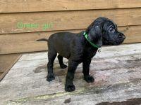 Labradoodle Puppies for sale in Dalton, GA, USA. price: NA