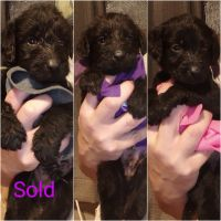 Labradoodle Puppies for sale in Huntington, WV, USA. price: NA