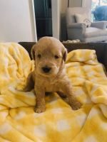 Labradoodle Puppies for sale in Mars Hill, NC 28754, USA. price: NA