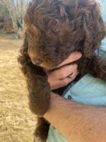 Labradoodle Puppies for sale in Lilburn, GA 30047, USA. price: NA