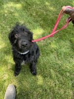 Labradoodle Puppies for sale in Holland, MI 49423, USA. price: NA
