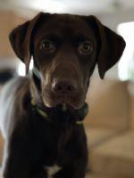 Labrador Retriever Puppies for sale in Richmond, KY 40475, USA. price: NA