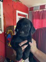 Labrador Retriever Puppies for sale in Kenton, OH 43326, USA. price: NA