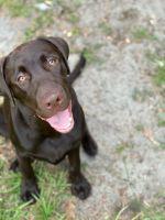 Labrador Retriever Puppies for sale in Orlando, FL 32818, USA. price: NA