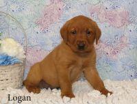 Labrador Retriever Puppies for sale in Minneapolis, MN 55439, USA. price: NA