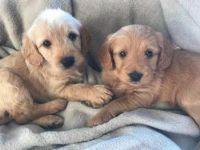 Labrador Retriever Puppies for sale in Naples, IL 62621, USA. price: NA