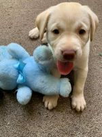 Labrador Retriever Puppies for sale in Charlotte, NC 28277, USA. price: NA