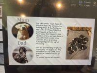 Labrador Retriever Puppies for sale in 3310 Dobbin Stream Ln, Houston, TX 77084, USA. price: NA